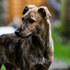 by Paul Scullion - Animals - Dogs Portraits ( x-breed, puppy, dog, lurcher, young, portrait )