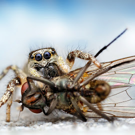 Lunch by Ondrej Pakan - Animals Insects & Spiders ( macro, jumping, fly, jumping spider, spider, insect )
