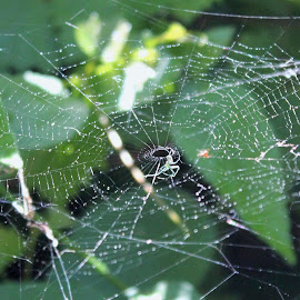Spider Web by Amy Bundenthal Johnson - Nature Up Close Webs