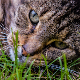 Cat lying around by Toine Baken - Animals - Cats Portraits ( cat, lying, blue, grass, the, house, head, in, up, close, eyes )