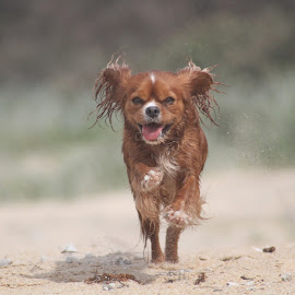Freedom by Gabby Rundle-Thiele - Animals - Dogs Running ( happy, ears, cavalier king charles, cavalier king charles spaniel, beach, dog, running,  )