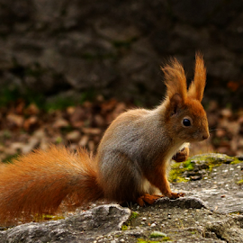 cautious squirrel by Zoltan Szabo - Animals Other Mammals