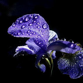 Rainy morning by Jurijs Ratanins - Instagram & Mobile Android ( mobilography, nature, iris, flowers, rain )