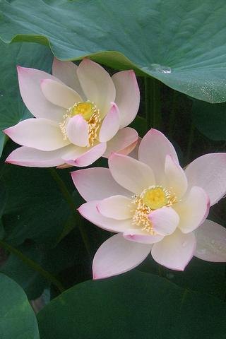 pretty-lotus-flowers-pics for android screenshot