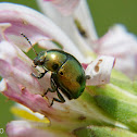 Green leaf beetle