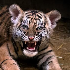 Tiger teenie by Renos Hadjikyriacou - Animals Lions, Tigers & Big Cats ( animals, tigers,  )