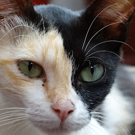 Close up by Stephen Dsouza - Animals - Cats Portraits ( cat, closeiup, animal )
