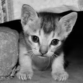 by Tareq Touhid - Animals - Cats Kittens