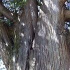 Old Eastern Cedar Tree