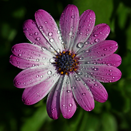 by Dipali S - Flowers Single Flower ( water drops, purple, nature, flora, daisy, close up, flower )