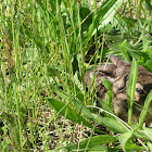 wild brown rabbit in tall grass