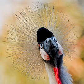 Grey-Crowned Crane's 'Spike-Do' by Leslie Reagan - Animals Birds ( bird, nature, grey-crowned, crane,  )
