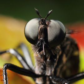Black Robber by Karthi Keyan - Animals Insects & Spiders ( animals, macro, nature, insects, robberfly )
