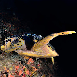 My Dark Turtle  by Wilfred Hdez - Animals Amphibians ( florida, beautiful, sea, night diving, diving, turtle, swimming,  )