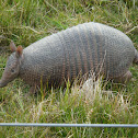 Mulita- Southerm Long-nosed Armadillo