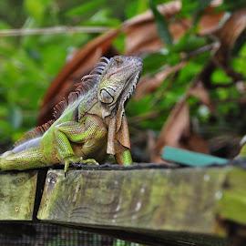 Iguana by Viana Santoni-Oliver - Animals Reptiles ( green, iguana, reptile, portrait )