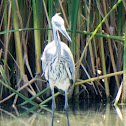 Grey Heron; Garza Real