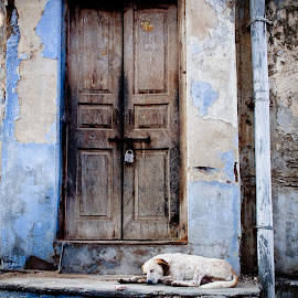 Dogs life by Guy Gillade - City,  Street & Park  Street Scenes ( rajastan, india, dogs life )
