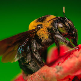 Honey Bee by Krizzel Almazora - Animals Insects & Spiders ( canon, animals, macro, nature, bee, insects )