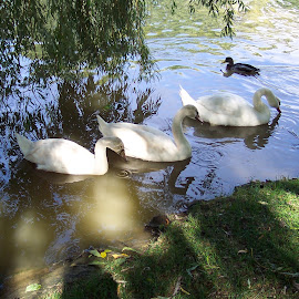 SWANS ON AVON by JO SORRILL - Novices Only Wildlife