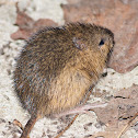 Meadow Jumping Mouse