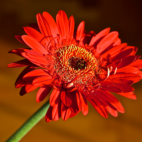 Red Gerbera by Venetia Featherstone-Witty - Flowers Single Flower ( red flower, red gerbera, gerbera, flower, , fall, color, colorful, nature )