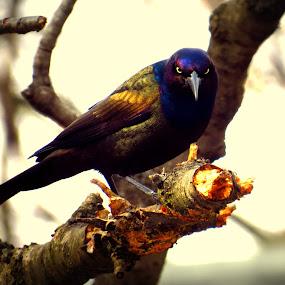 Grackle  by Patti Hobbs - Animals Birds ( animals birds grackle cherry tree,  )