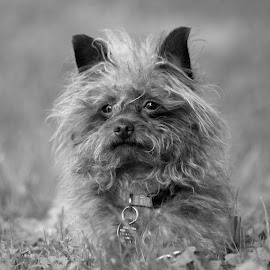 My lil Boy  by Rhonda Leach - Animals - Dogs Portraits (  )