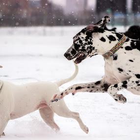 Catching up by Jarrod Kudzia - Animals - Dogs Playing ( michigan, winter, dogs, snow, dog, detroit,  )