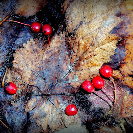 Autumn by Svetlana Micic - Nature Up Close Leaves & Grasses ( red, autumn, brown, leaves, close up )