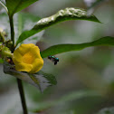 Euglossa bee and Allamanda.