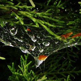 Dancing Water-drops by Lavonne Ripley - Nature Up Close Webs