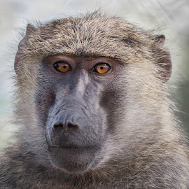 Baboon Closeup by Karen Martin - Animals Other Mammals ( expression, wildlife world zoo, baboon, zoo, ape, babboon, brown, monkey, eyes )