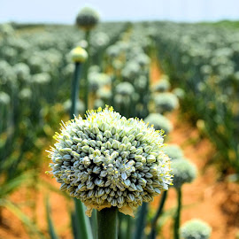 Onions by Heather Aplin - Nature Up Close Other plants ( plant, onions, food, crops, summer, france, globe )
