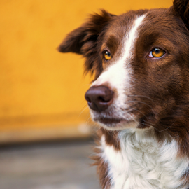 Border Collie by Cristobal Garciaferro Rubio - Animals - Dogs Portraits ( collie, border, dog )