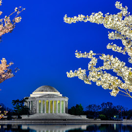 Cherry bossoms over Jefferson by Izzy Kapetanovic - Buildings & Architecture Statues & Monuments ( jefferson monument, dc, washington, reflection, blue hour, sunrise, tidal basin, cherry blossoms )