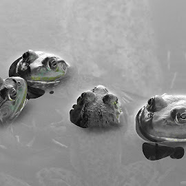 kissing cousins by Helen Bagley - Animals Amphibians ( water, green, frogs, black, kisses, selective color, pwc )