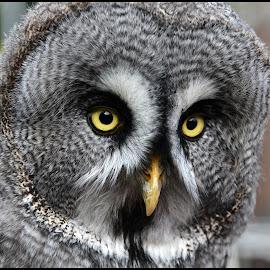 Indringend by Etienne Chalmet - Animals Birds ( animals, birds, owls )