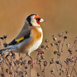 Goldfinch by Derek Lees - Animals Birds ( cannock chase, bird, uk, goldfinch )