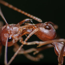 Love & Cherish by Wilson Intai - Novices Only Macro ( macro, insect, close up, red ant )