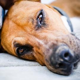 by Gabi Dibos - Animals - Dogs Puppies