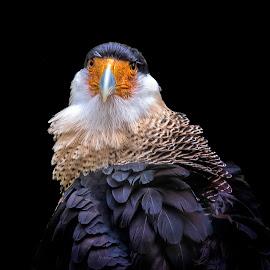Mafioso by Shelale Savash - Animals Birds ( birdofprey, florida, caracara, plumage, handsome,  )