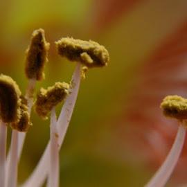 Pollen Abundance by Rebecca Weatherford - Novices Only Macro ( macro, pollen, nikon, bokeh, flower )