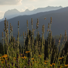 Mountain Bee by Stuart Byles - Landscapes Mountains & Hills ( mountains, bavaria, bee, twilight, summer, flowers, evening, berchtesgaden )