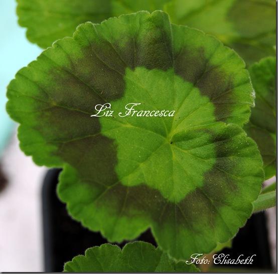 pelargonium i mai 2011 106
