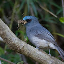 Dull-blue Flycatcher