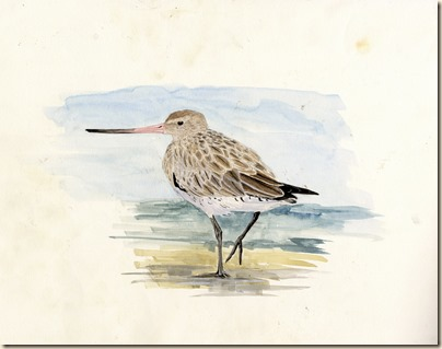 bar tailed godwit088 (2)