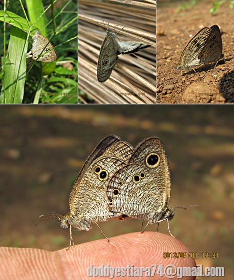 kupu-kupu Common Five Ring (Ypthima baldus) kawin.