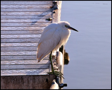 03 - morning bike ride- Snowy Egret at the marina