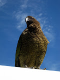 South Island - Milford Sound - Rainforest - Kea Parrot